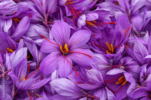 Photo sur Toile Crocus Harvest Flowers of saffron after collection. Crocus sativus, commonly known as the