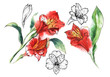 Set of 5 elements illustration of Alstroemery flowers. Black line and watercolor hand drawing.