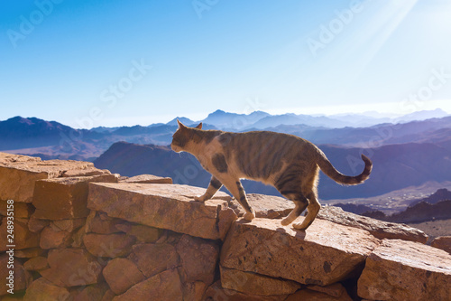 Foto auf Gartenposter Dunkelbraun The cat walks along the trail against the backdrop of the mountain of Moses in Egypt