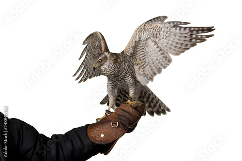 Photo  hawk attacking spreading wings sitting on leather glove, isolated on white backg