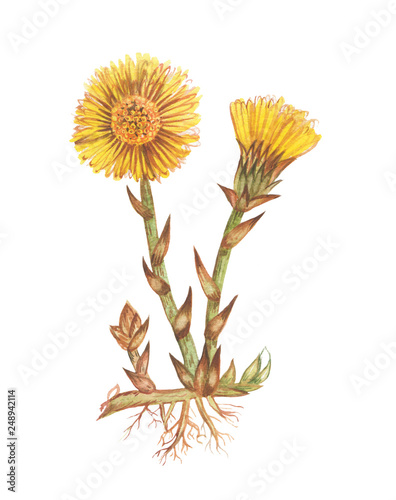 Valokuva  hand drawn watercolor illustration/flower coltsfoot /medicinal herbs