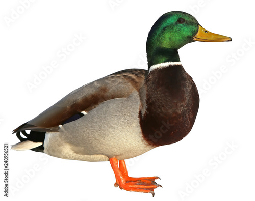 Mallard Duck with clipping path. Colourful wild duck drake isolated on white background Wall mural