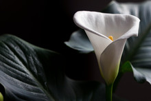 Calla - Blossom Beautiful Whit...