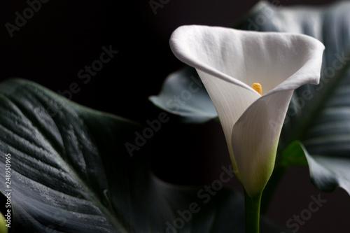 Fotografie, Obraz  Calla - blossom beautiful white flower, houseplant, background.
