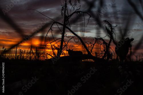 Photo Atardecer siluetas de vacas plantas y alambrado