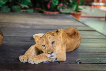 Young Lion Chained Is Lining On The Wooden Floor And Look So Bored To Wait For The Tourist To Take Photograph With Him.