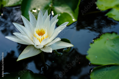 Poster de jardin Nénuphars White water lily flower in a pond in a garden in natural outdoor light with copy space