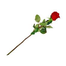 Highly Detailed Flower Of Red Rose On Long Stem