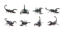 Group Of Scorpion Isolated On A White Background. Insects. Animal.