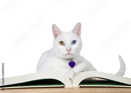 Beautiful white cat with heterochromia, odd eyes, laying on a story book on wood table looking directly at viewer. Isolated on white. Story time, national international book day education themes