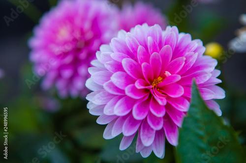 Foto op Plexiglas Dahlia beautiful flowers in the yard close-up