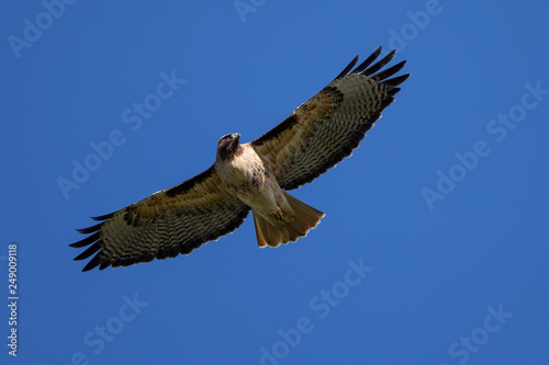 Photo  Very close view of a red-tailed hawk flying, seen in the wild in North Californi