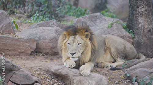 Wall Murals Ostrich White male lion resting in the forest.