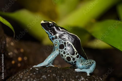 Foto op Plexiglas Kikker Dyeing poison dart frog in the jungle