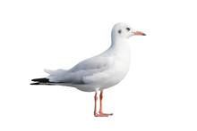 Single Seagull Isolated On White Background