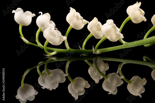 Wall Murals Lily of the valley Single twig of spring flowers of Convallaria majalis (Lily of the valley) isolated on black background