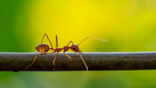 Green Tree Ant (Oecophylla Sma...