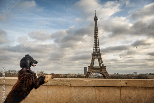 Poster Eiffel Tower Dog admireing the Eiffel Tower in Paris, France