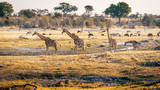 Fototapeta Sawanna - Drei Giraffen in der Abendsonne, Makgadikgadi Pans Nationalpark, Botswana