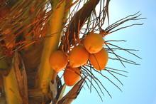 Ripe Coconuts (Cocos Nucifera) On A Palm Tree.