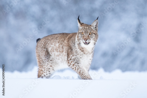 Garden Poster Lynx Young Eurasian lynx on snow. Amazing animal, running freely on snow covered meadow on cold day. Beautiful natural shot in original and natural location. Cute cub yet dangerous and endangered predator.