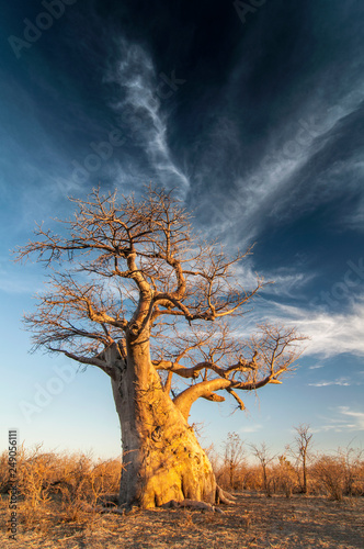 Photo Baobab tree (Adansonia digitata) Makgadigadi Pans at Gweta in Botswana