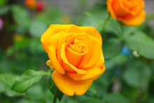 A Small Bright Yellow Rose Blooms In The Garden.