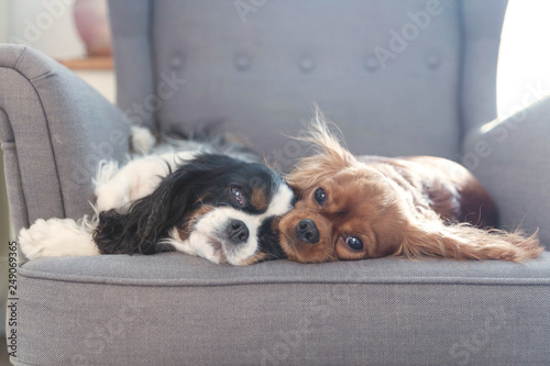 Foto  Two dogs resting together on the armchair
