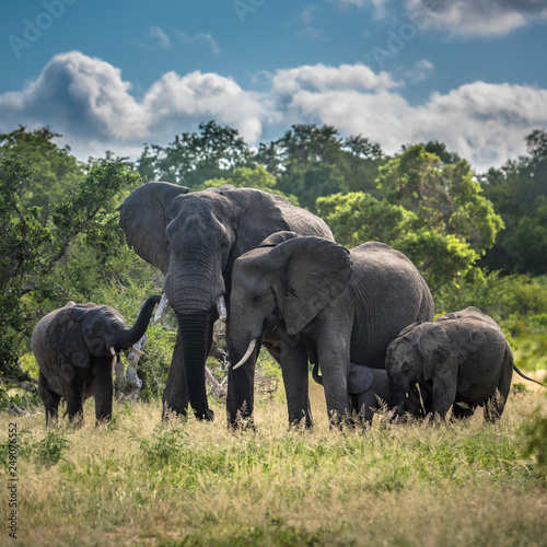 Elephants family in Kruger National Park, South Africa. Wall mural