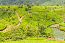 Hill Country Tea Plantation In The Central Highlands Near Nuwara Eliya, Sri Lanka, Asia.