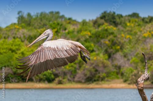 Fotografering  Spot billed pelican or grey pelican (Pelecanus philippensis), Yala national patk, Sri Lanka