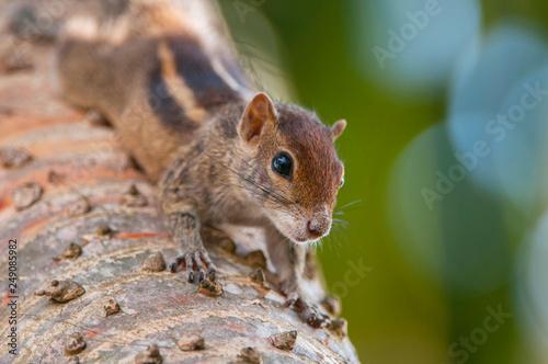 Fotografie, Obraz  Indian Palm Squirrel (Funambulus palmarum) Jaffna, Sri Lanka.