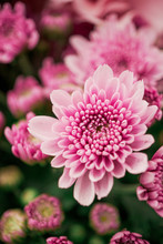 Colorful Chrysanthemum Flower Macro Shot. Chrysanthemum  Pink Pastel Color Flower Background With Copyspace.