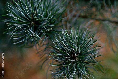 Pinus parviflora - Japanische Mädchenkiefer
