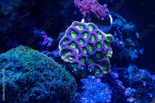 Fotografiet hard coral macro in aquarium