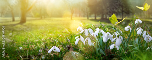 Cuadros en Lienzo Easter background with fresh spring flower and yellow butterfly