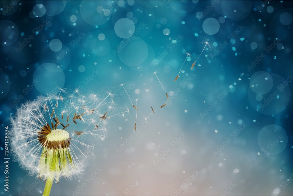 Fototapety, obrazy: Dandelion with blowing seedsDandelion with blowing seeds on blurred background