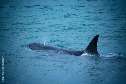 Plakat Orka, polowanie na lwy morskie, Argentyna Patagonia