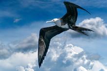 Frigate Bird Flying On Cloudy ...