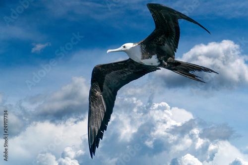 Frigate bird flying on cloudy sky Wallpaper Mural
