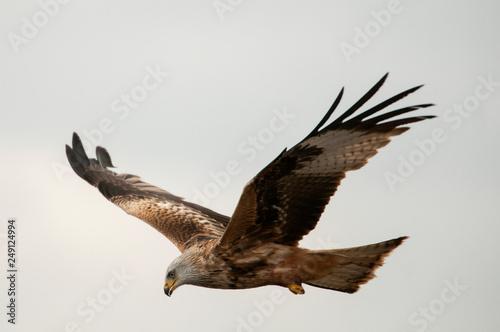 Photo  Red kite, Milvus milvus, flying