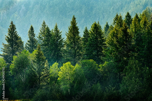 Photo Pine Forest During Rainstorm Lush Trees