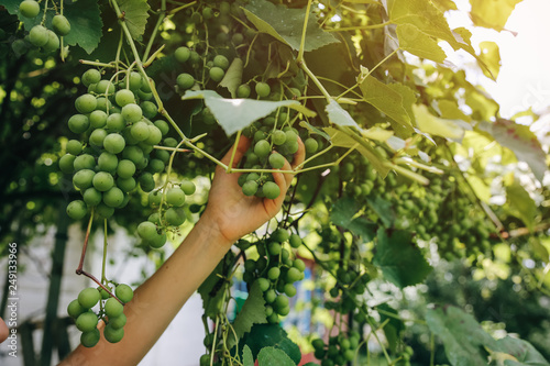 Fotografía  Woman's hand is gathering green grapes near the house