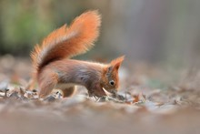 Art View On Wild Nature. Cute Red Squirrel With Long Pointed Ears In Autumn Scene . Wildlife In November Forest. Squirrel Sitting On Ground With A Nut. Sciurus Vulgaris