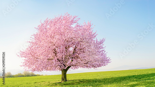 Leinwand Poster Flowering sakura tree cherry blossom