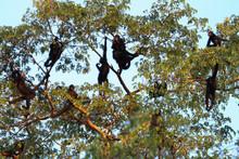 Peruvian Spider Monkeys