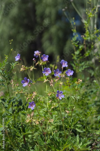 Flowers of meadow cranesbill  {Geranium pratense} bloom on a green meadow in the forest Wallpaper Mural