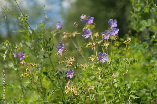 Many flowers of meadow cranesbill  {Geranium pratense} bloom on a green meadow in the forest Wallpaper Mural