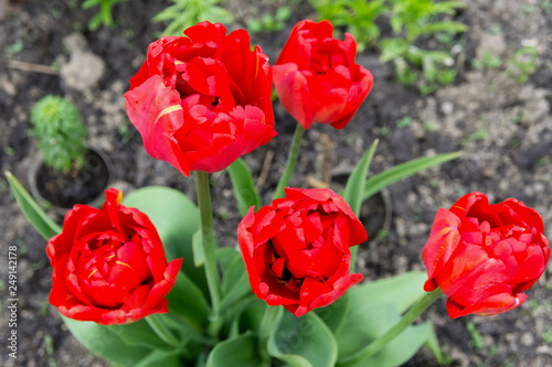 A group of red tulips bloom on a garden bed in spring. View from above.