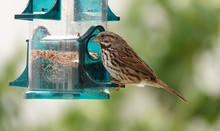 Female House Finch At Feeder